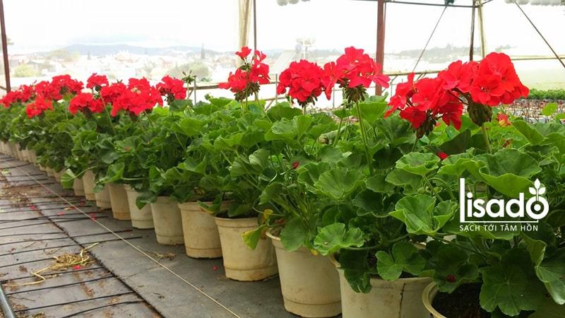 Phong lữ thảo thích hợp trồng vào mùa xuân
