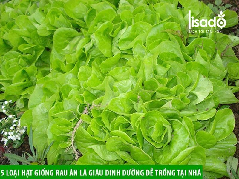 Rau diếp là loại rau dễ trồng, giàu dinh dưỡng