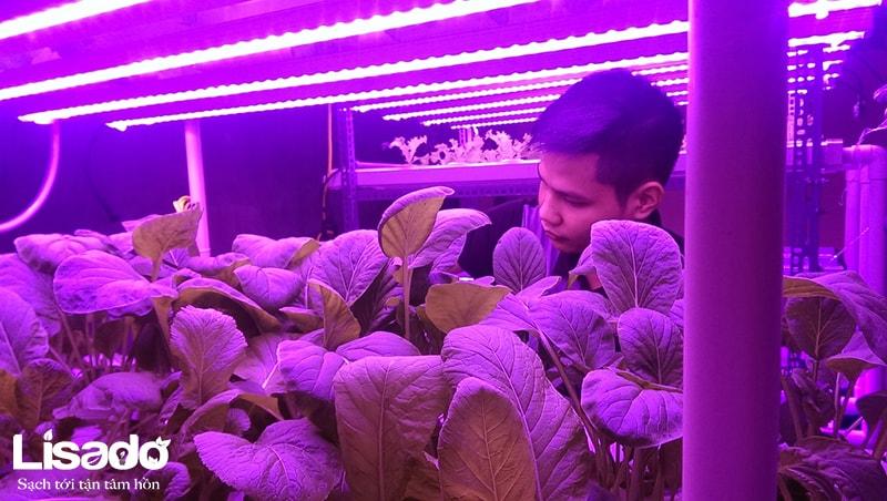Trồng rau thủy canh bằng đèn led có ảnh hưởng đến mắt hay không?