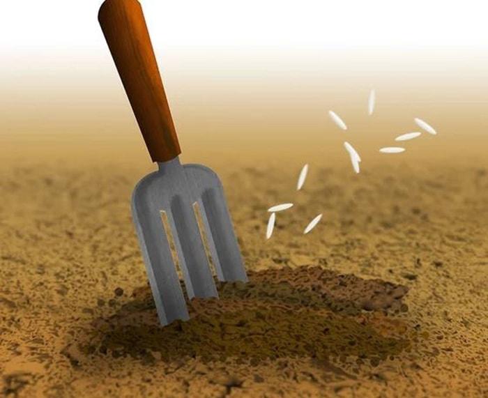 Đào rãnh trong đất và gieo hạt xà lách