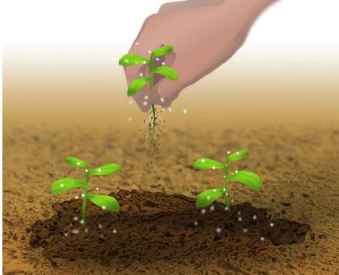 Nhổ bớt cây ngay khi các cây con hình thành những chiếc lá đầu tiên