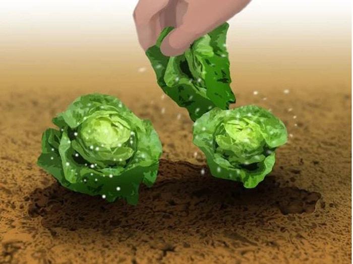 Thu hoạch khi những chiếc lá phía ngoài dài khoảng 6 inch (15.2 cm)