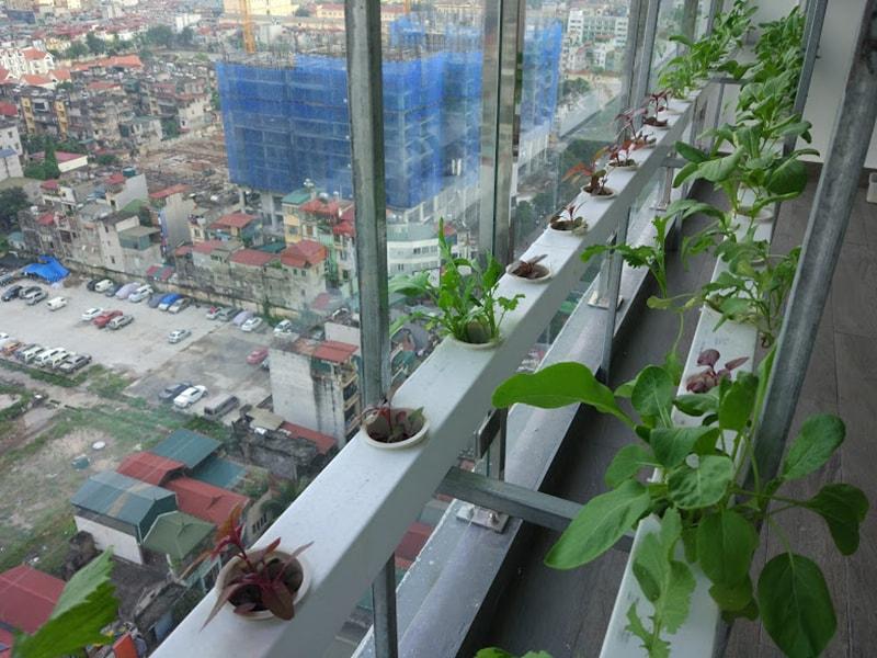 Chọn vị trí trồng rau thủy canh trong căn hộ chung cư