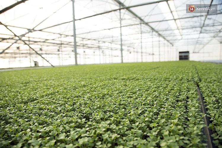 Ưu điểm của phương pháp trồng rau thủy canh trong nhà kính