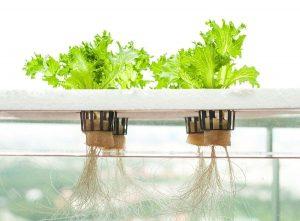 Giải pháp dinh dưỡng cho cây thủy canh