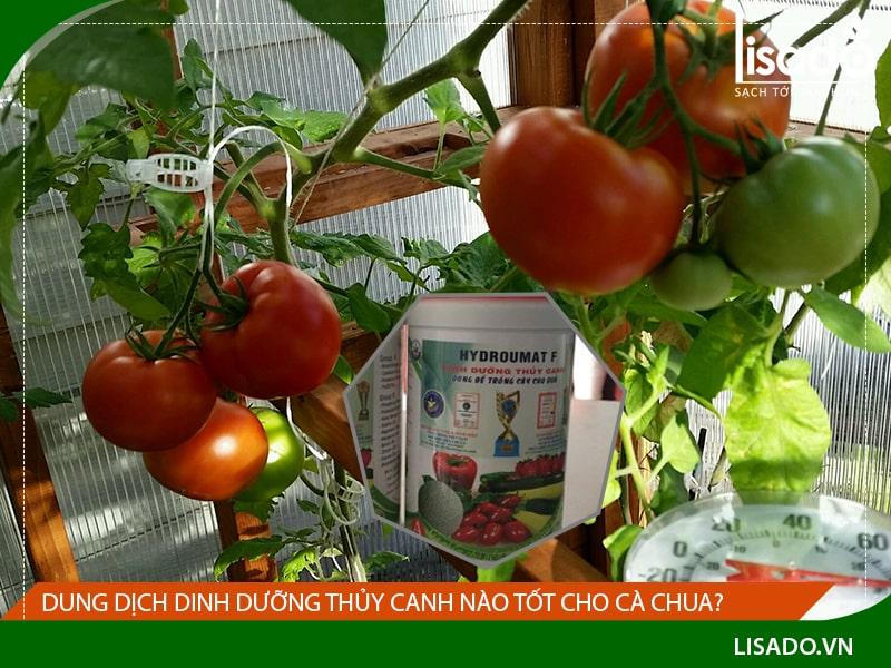 Dung dịch dinh dưỡng thủy canh nào tốt cho cà chua?