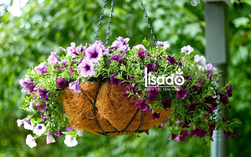 Hạt giống hoa dạ yến thảo