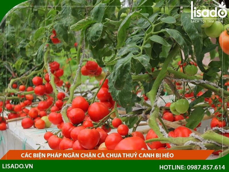 Các biện pháp ngăn chặn cà chua thủy canh bị héo
