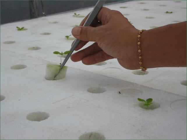 Vấn để tảo trong thủy canh bọt