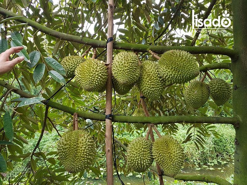 """Sầu riêng được ví như """"vua của cây ăn quả"""" nhiệt đới"""