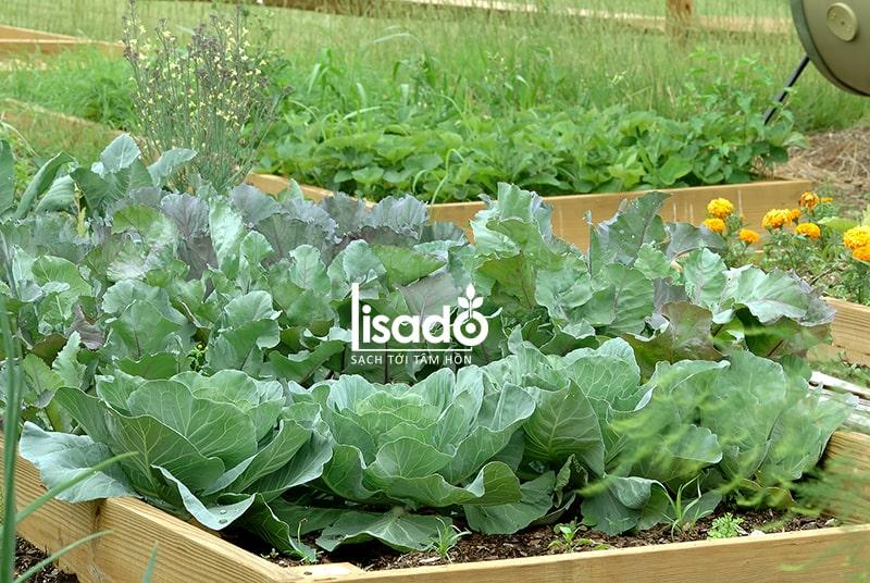 Chăm sóc và nhặt cỏ cho rau phát triển tốt