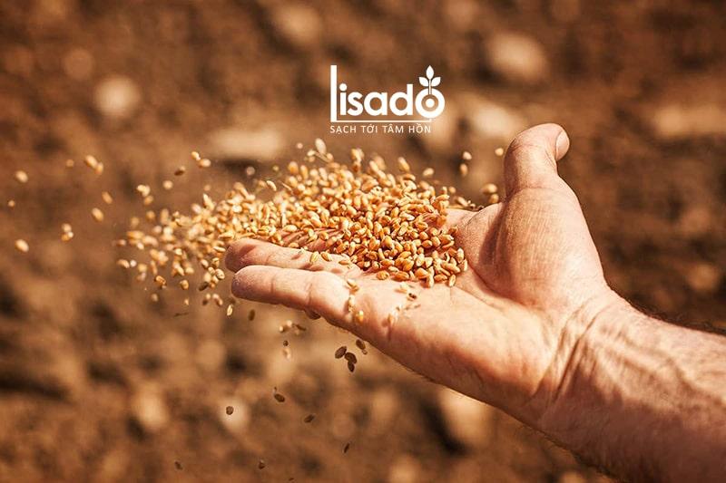 Quy trình gieo phải bắt đầu lựa chọn hạt giống tốt