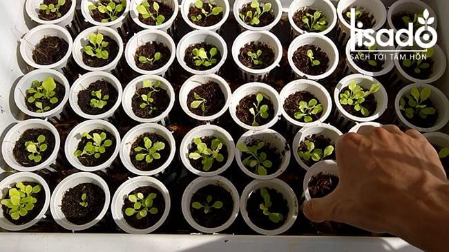 Ươm hạt giống trồng rau chân vịt thủy canh
