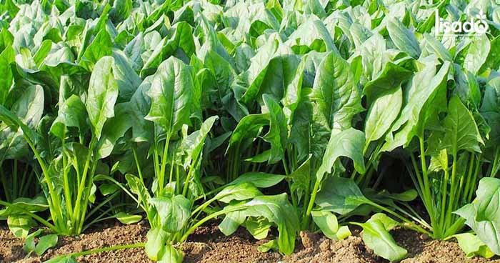 Tau chân vịt có thể được trồng thổ canh hoặc thủy canh đều được
