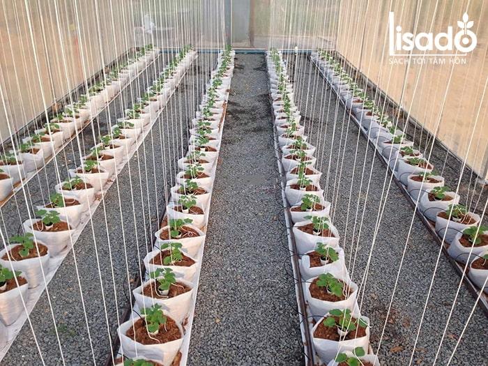 Trồng cây và lên luống trồng dưa lưới
