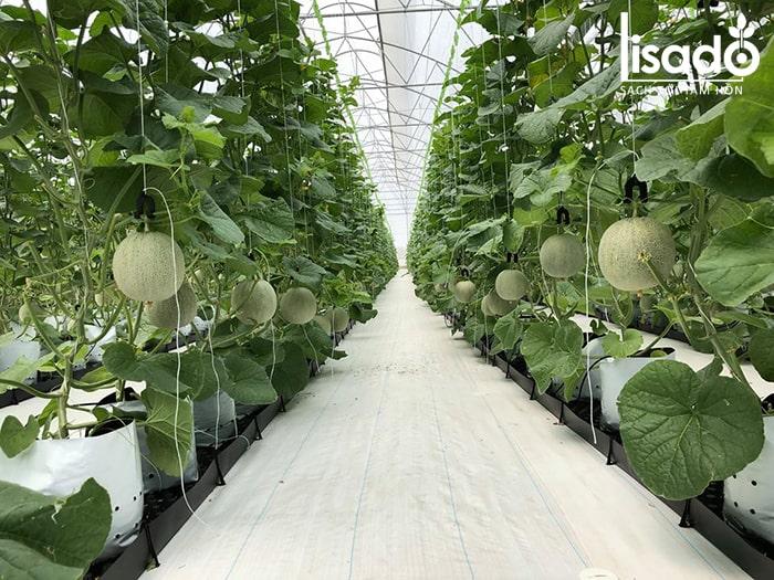 Phòng bệnh phấn trắng để cây cho năng suất cao nhất