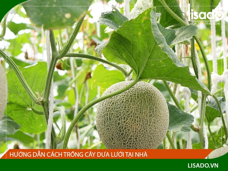 Hướng dẫn cách trồng cây dưa lưới tại nhà