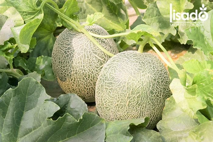 Cây dưa lưới Nhật Bản được trồng và chăm sóc rất kỹ lưỡng