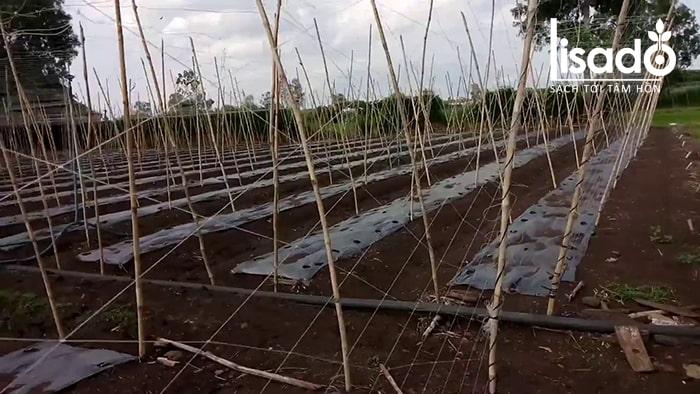 Giàn trồng dưa lưới tự làm