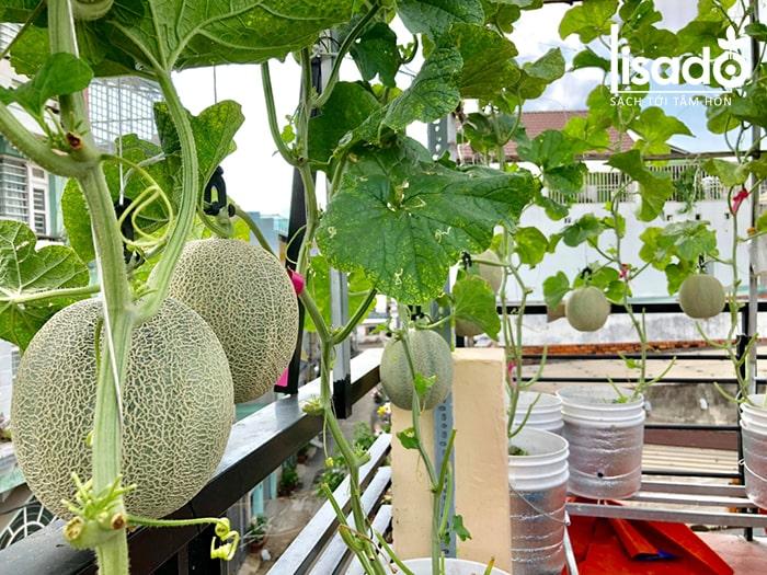 Giàn trồng dưa lưới tại nhà