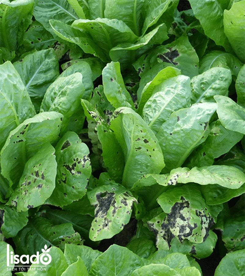 Bệnh cháy lá vi khuẩn trên rau xà lách