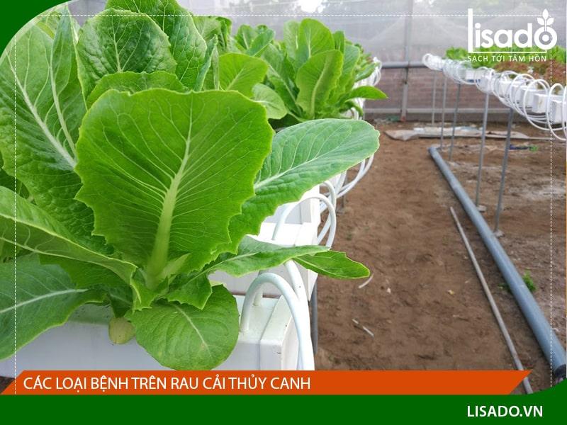 Các loại bệnh trên rau cải thủy canh và cách khắc phục