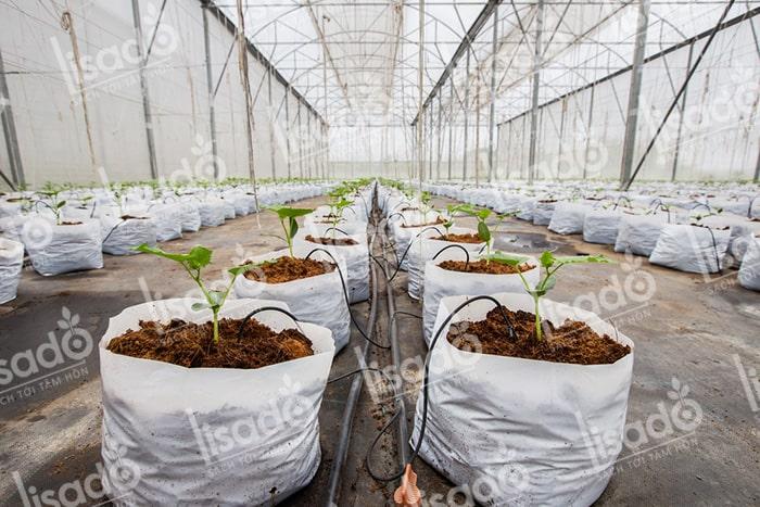 Mô hình trồng dưa lưới với hệ thống tưới nhỏ giọt Lisado