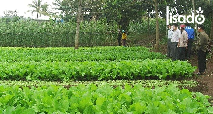 Rau sạch là rau được trồng hoàn toàn trong môi trường tự nhiên