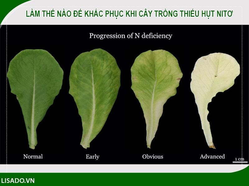Làm thế nào để khắc phục khi cây trồng thiếu hụt nitơ