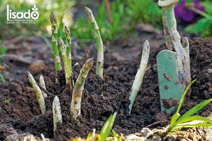 Cách trồng măng tây trong chậu, thùng xốp