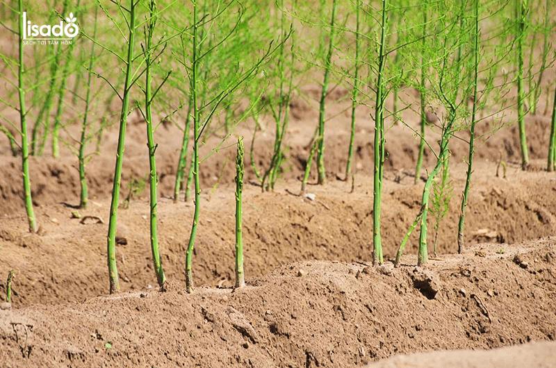 Tôi đã khắc phục vườn măng tây bị bệnh ra sao?