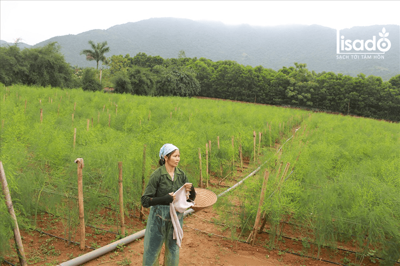 Điều kiện khí hậu, thổ nhưỡng ở Phú Yên phù hợp trồng măng tây