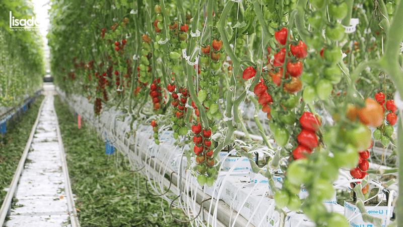 Trồng 1000m2 trồng cà chua bao nhiêu tiền?