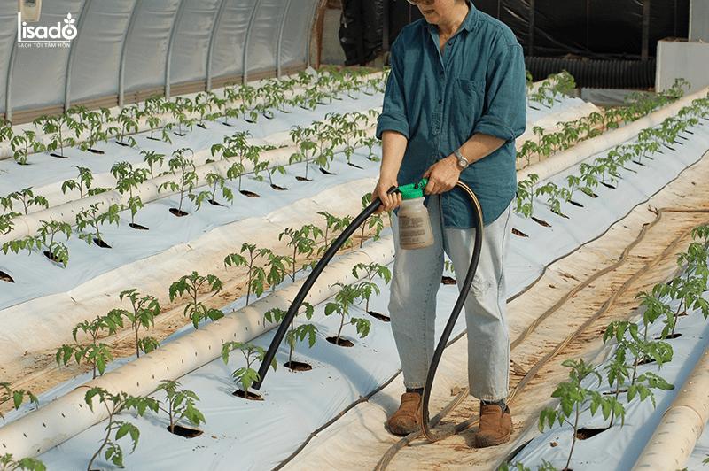 Trồng và chăm sóc cây cà chua trong nhà màng