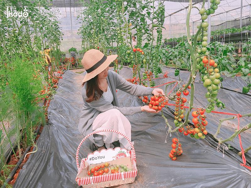 500m2 trồng cà chua trong nhà màng-nhà lưới bao nhiêu?