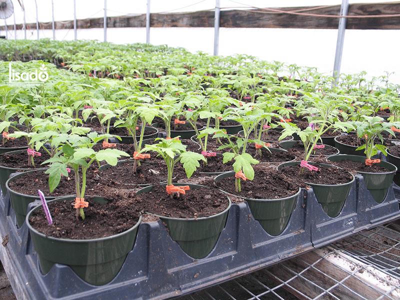 Quy trình trồng cà chua trong nhà màng