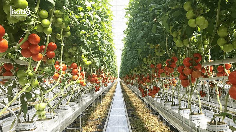 Trồng 2000m2 cà chua cần bao nhiêu tiền?