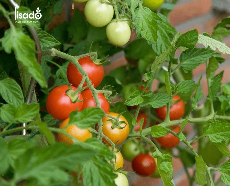 Ưu điểm khi trồng cà chua trong nhà màng – nhà lưới