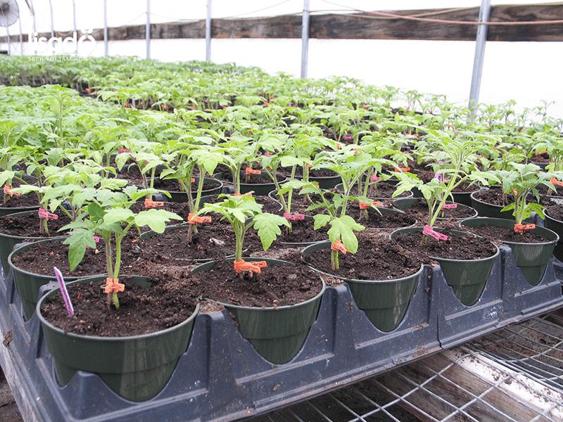 Chuẩn bị cây cà chua con để trồng trong nhà màng