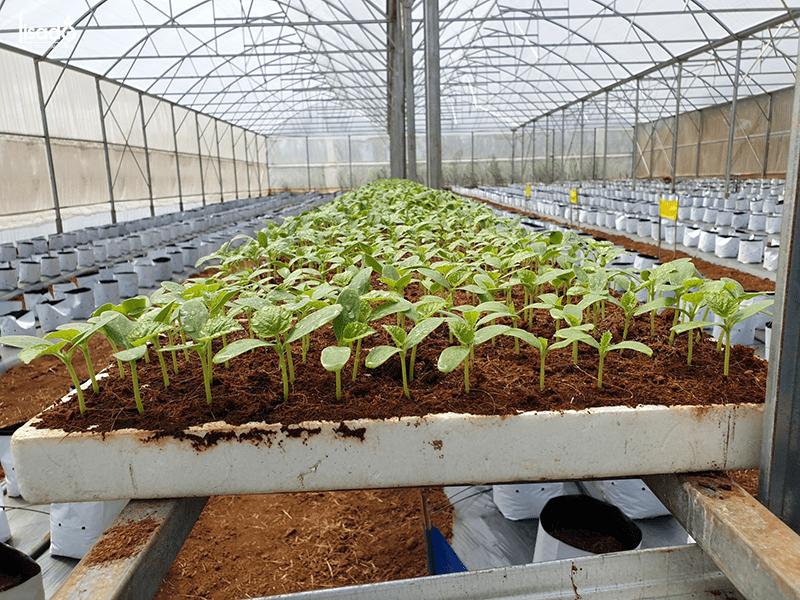 Quy trình, kỹ thuật trồng dưa lưới trong nhà màng