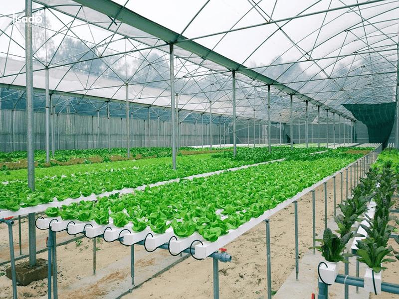 Chi phí trồng 2000m2 rau thủy canh là bao nhiêu?