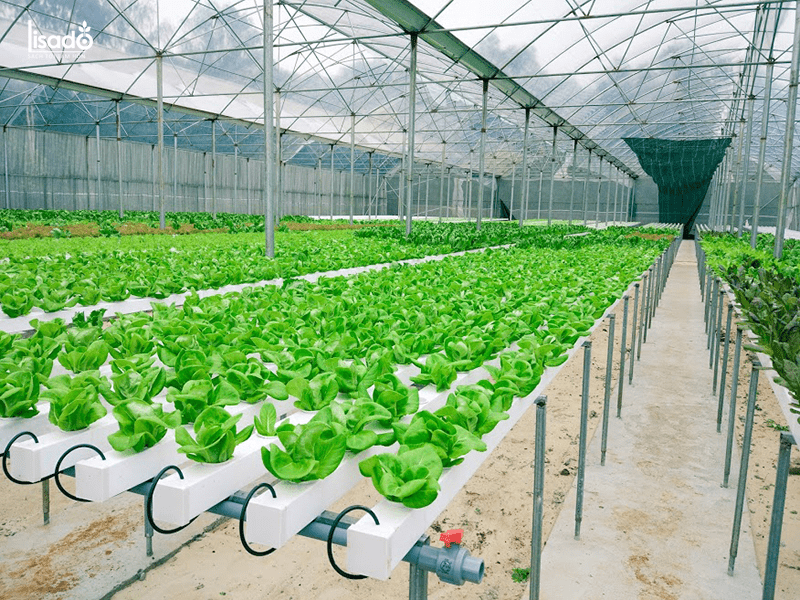 Chi phí trồng 500m2 rau thủy canh