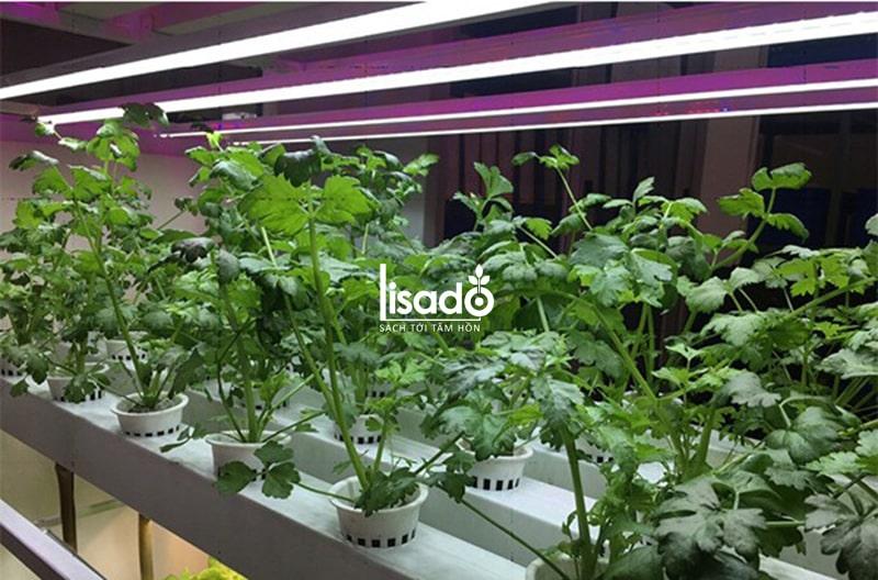 Đèn led trồng rau Rạng Đông sáng xanh/đỏ
