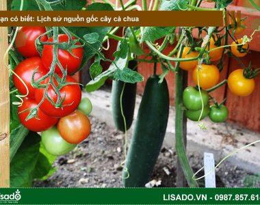 Lịch sử nguồn gốc cây cà chua? Các loại cà chua phổ biến?