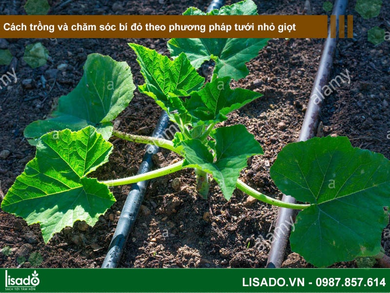 Cách trồng và chăm sóc bí ngô (đỏ) theo phương pháp tưới nhỏ giọt