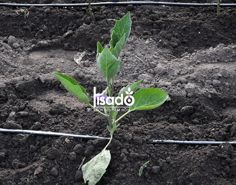 Cách trồng và chăm sóc cà tím theo phương pháp tưới nhỏ giọt