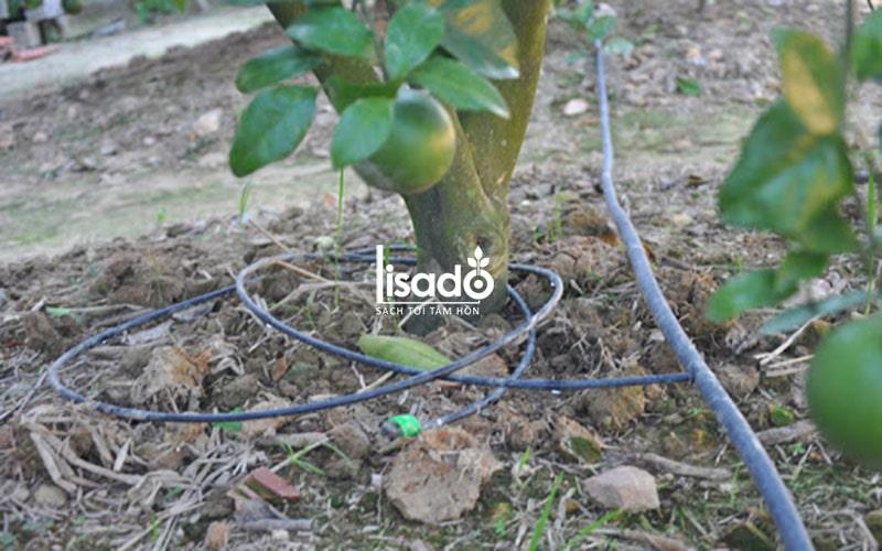 Cách trồng và chăm sóc cây bưởi theo phương pháp tưới nhỏ giọt