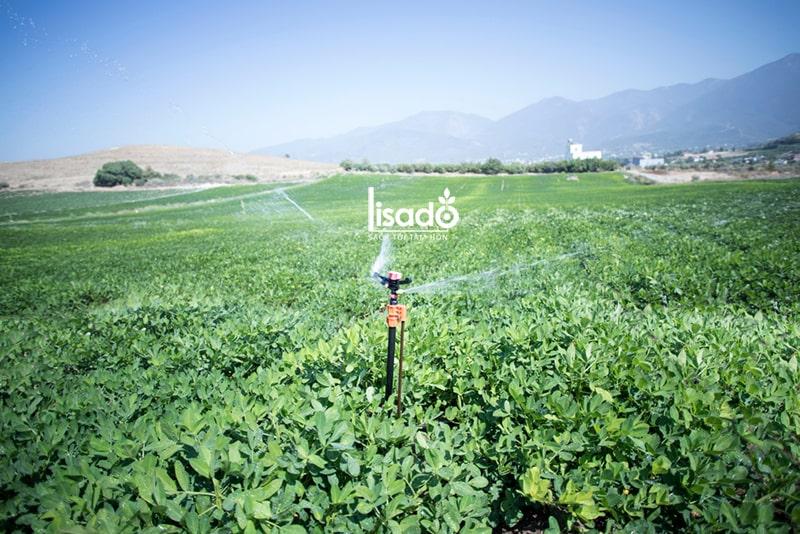 Cách trồng và chăm sóc đậu phộng (lạc) theo phương pháp tưới phun mưa