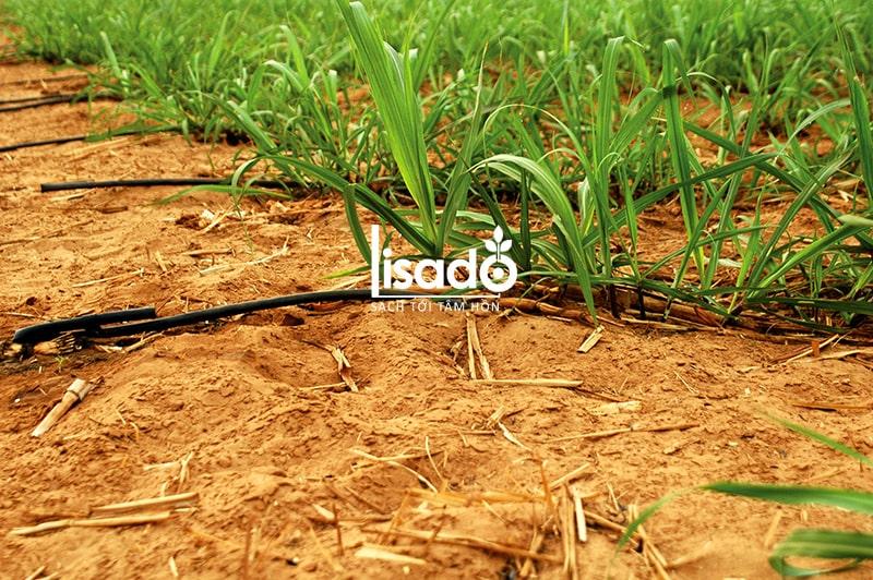 Cách trồng và chăm sóc mía theo phương pháp tưới nhỏ giọt