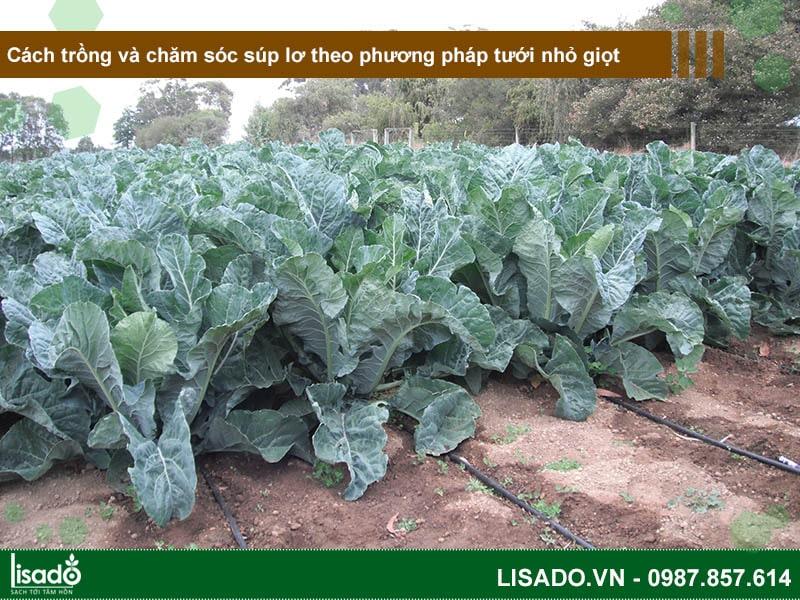 Cách trồng và chăm sóc súp lơ theo phương pháp tưới nhỏ giọt
